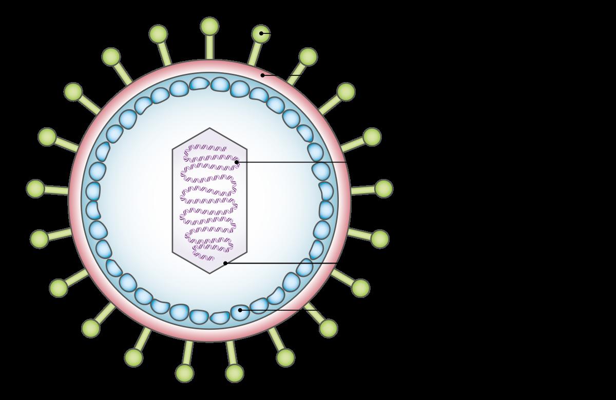 A hpv egy DNS vírus)