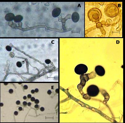 Helminthosporium spicifera, Évfolyam: Évfolyam: