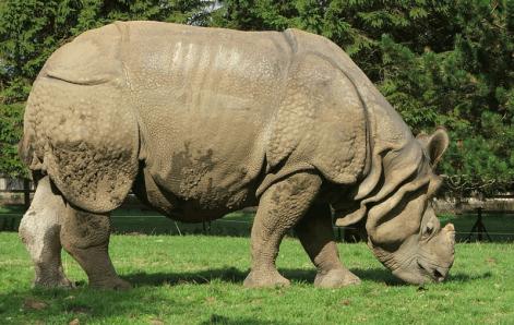 Brehm: Az állatok világa / 4. Tompaorrú orrszarvúak (Ceratotherium Gray)
