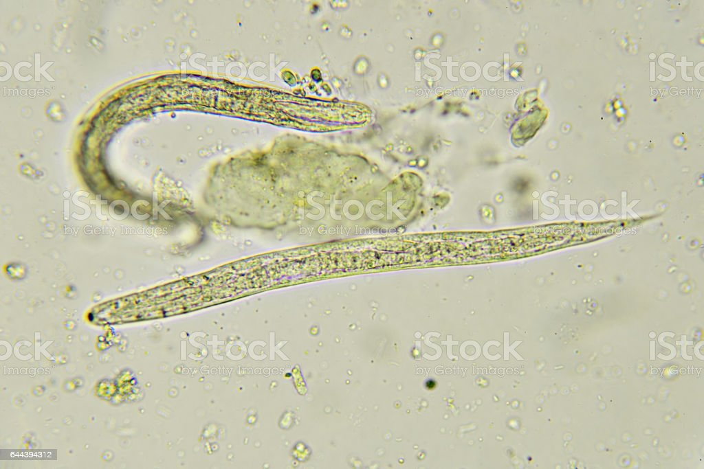 apró pinwormok