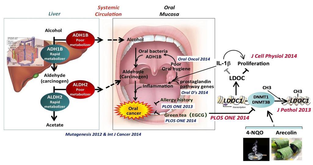 A szájüreg benignus és malignus epitheliális léziói - PDF Ingyenes letöltés