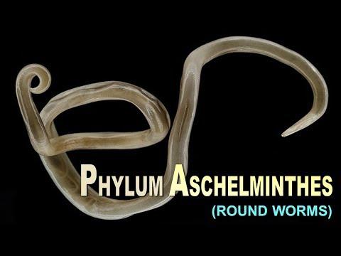aschelminthes phylum)