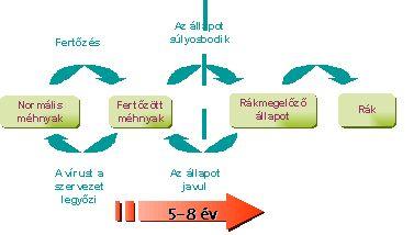humán papillomavírus és a kapcsolódó rákok)