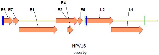 humán papillomavírus detektálása pcr-rel