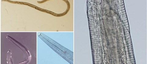 ezüstkagyló helminthosporium solani