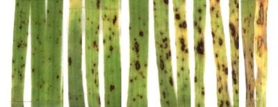 helminthosporium sorokiniana