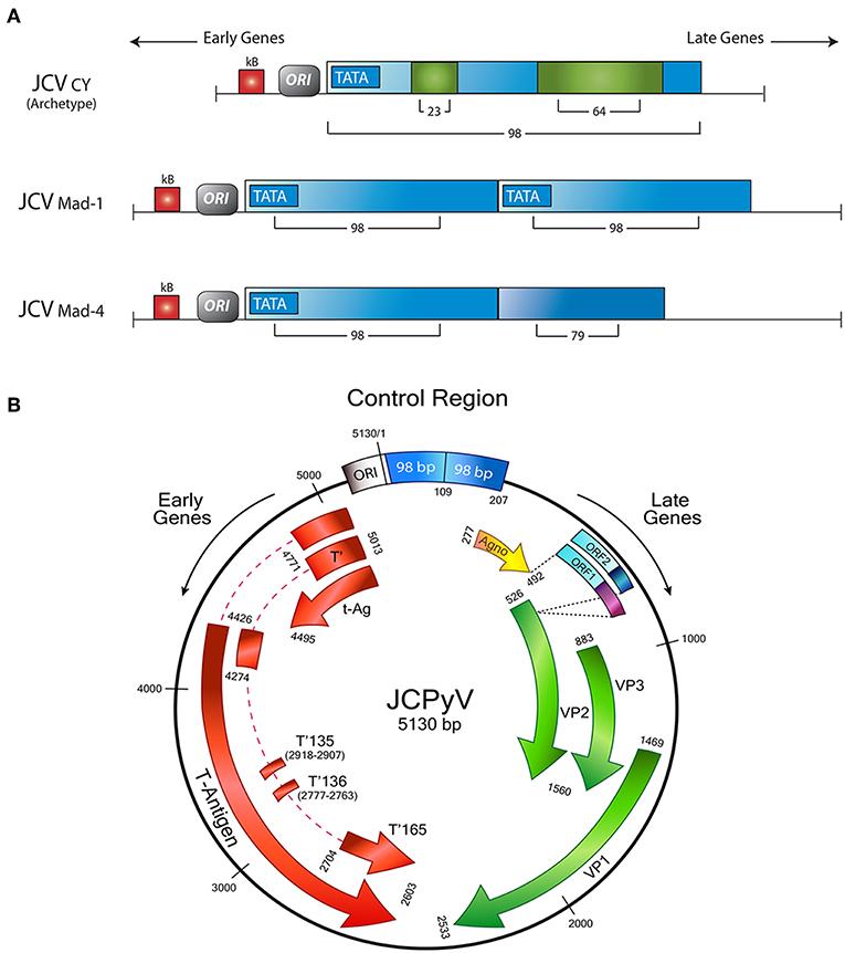 papilloma vírus jc)