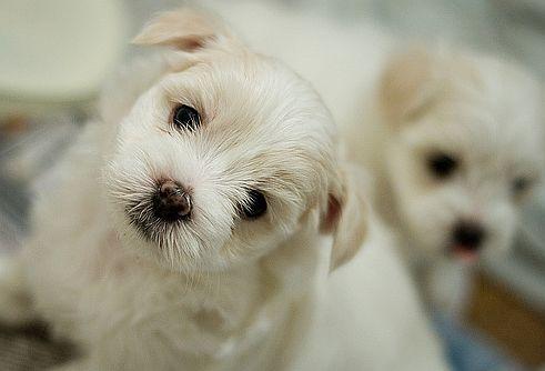 Orális papillomatosis kutyák kezelésében
