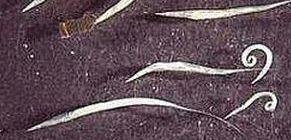 a betegség neve pinworms