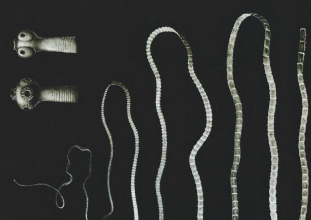 galandféreg fejlesztés paraziták az emberi gének kezelésében