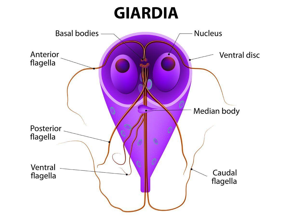 hogyan nyilvánul meg a giardiasis az emberekben)