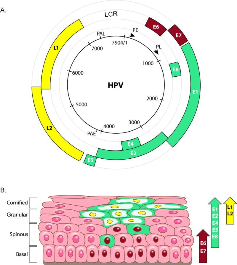 papillomavírus a bőrben)