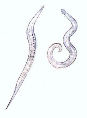 a sertés fonálféreg kezelése)