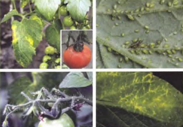 Paradicsom klavibakteres betegsége – Wikipédia