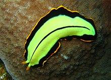 a platyhelminthes phylum tényei