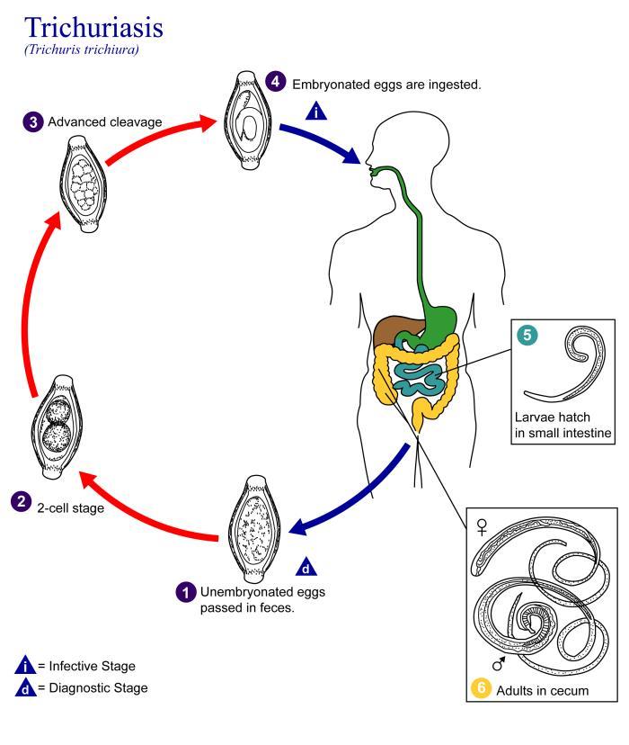 helmint fertőzési ciklus