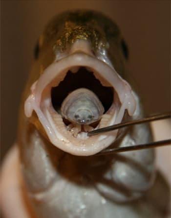 ryba parazita jazyk