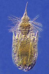 filum platyhelminthes és aschelminthes