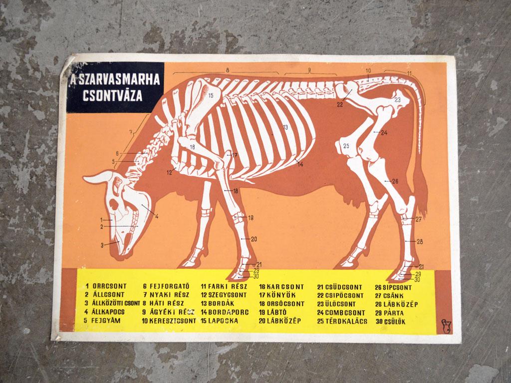 szarvasmarha-papillomatosis Kolumbiában