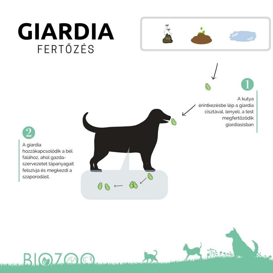 Giardia Fertőzés Kutyáknál   Tünetei, Diagnózis, Kezelés   Zooplus