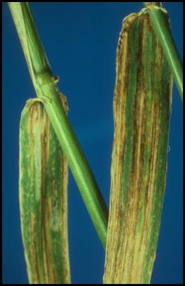 helminthosporium gramineum)