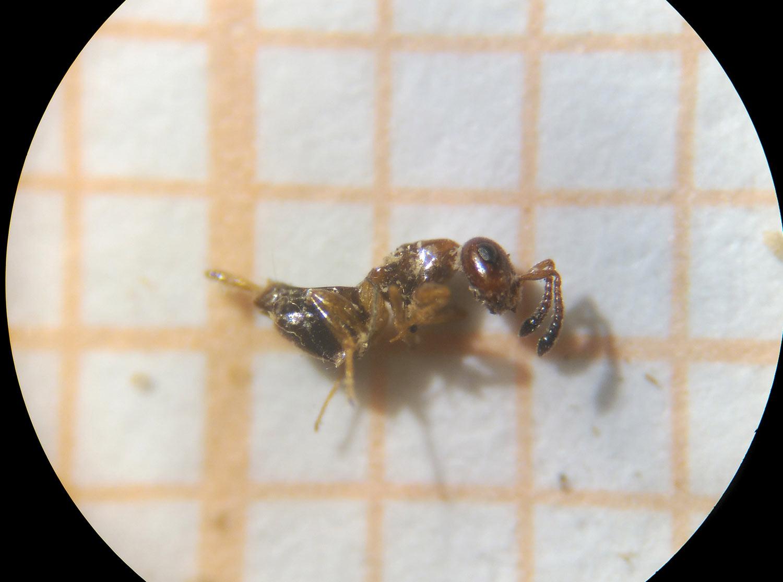 kókuszolaj a pinwormok eltávolítására
