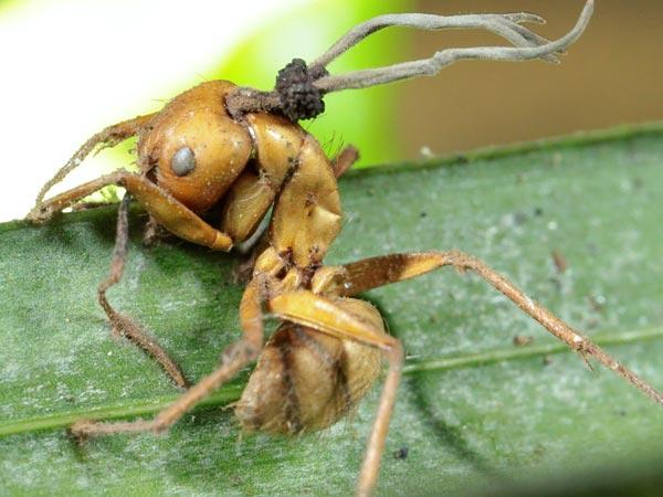 parazita hangyák