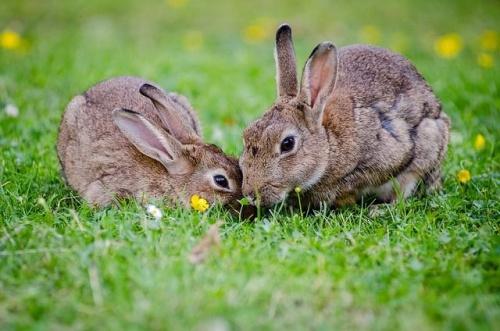 Állatorvosi tanácsok házinyúl-tenyésztőknek   Kárpátalja