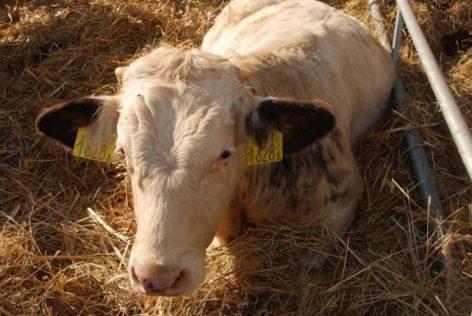 a szarvasmarhák galandférgének fertőző betegségei)