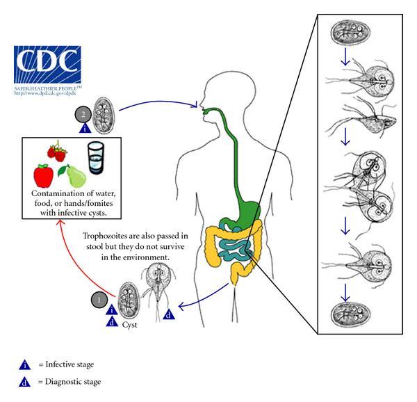Giardiasis felnőtteknél a bőr tünetei - Gyomor-bélhurut – Wikipédia, A bőr giardiasis tünetei