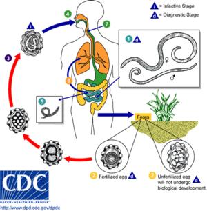 Fascioliasis életciklusa Ascaris humán végső és közbenső fogadó - Kezelés