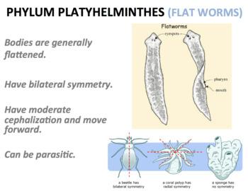 phylum platyhelminthes nematoda annelida)