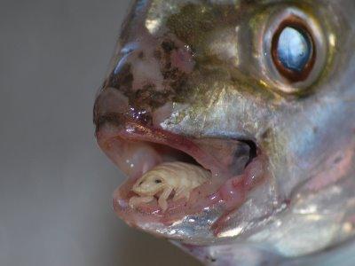paraziták a halakban