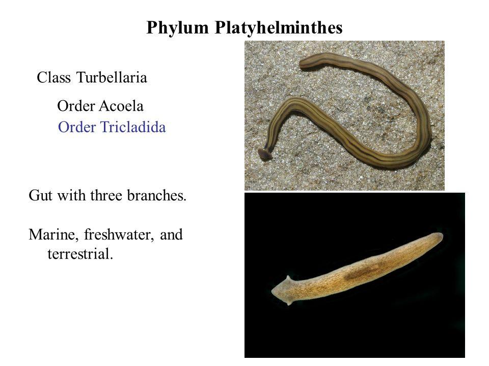 platyhelminthes turbellaria tricladida)