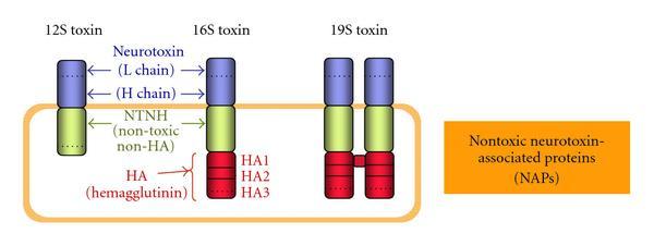 botulinum toxin 12)