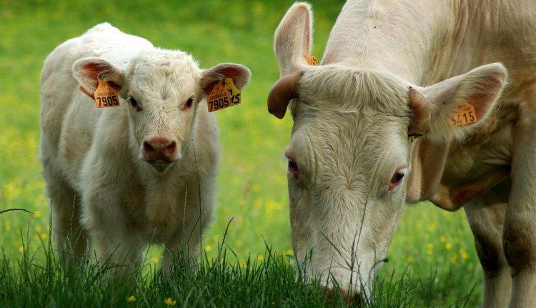 a fiatal marhák, milyen féreg)