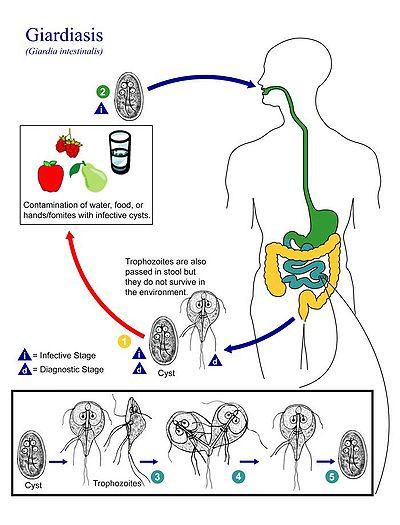 diéta a giardiasis kezelésére)