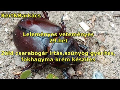 parazita platyhelminták példája