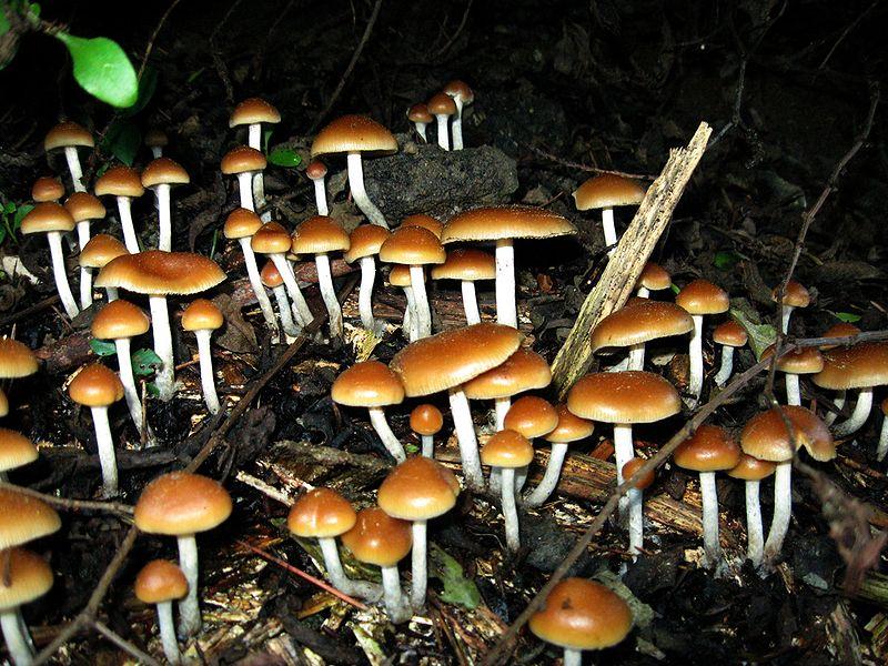 hallucinogén gombák románia)