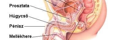 pinworms felnőtt nőben paraziták törpe törpe