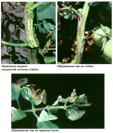 a paradicsom bakteriális rákja)