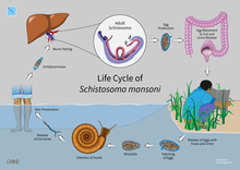 schistosomiasis zyklus)