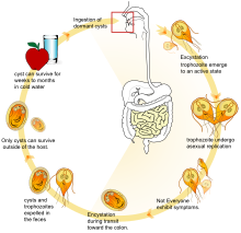 a giardia parazita életciklusa a giardia profilaktikus kezelése
