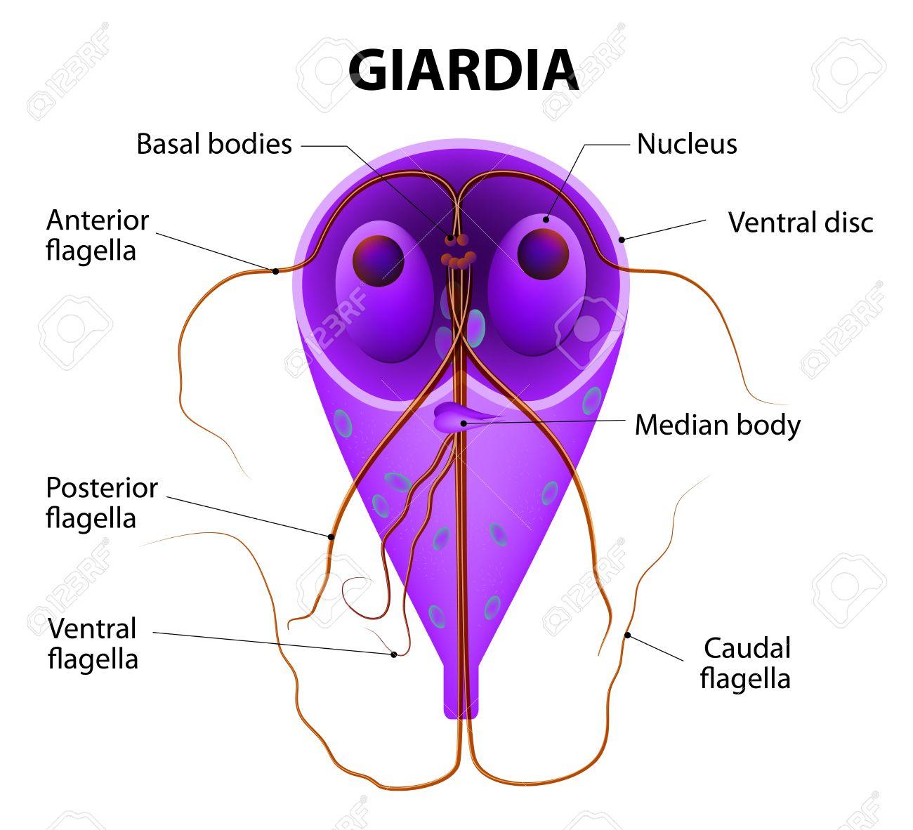 képek a giardia protozoákról