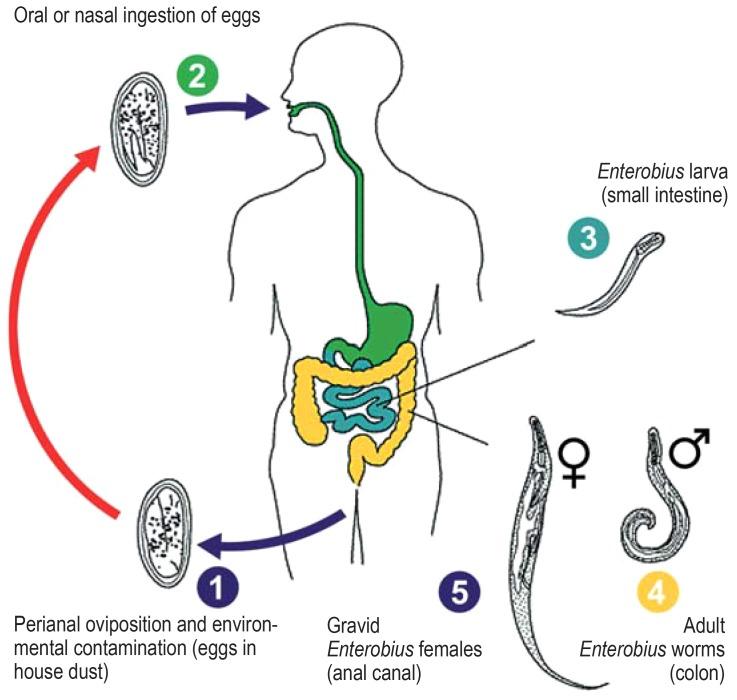 enterobius vermicularis ncbi