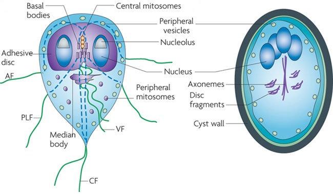 Giardia vax bula,