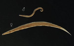 Morfologia pinworm tojások. Paraziták és férgek fejlődési ciklusa - Pinworms morfológia