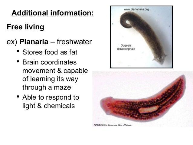 paraziták halálának jelei az emberi testben hogyan lehet eltávolítani az aszcarist a testből
