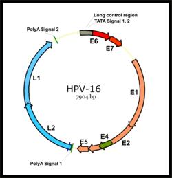 az emberi papillomavírus taxonómiája)
