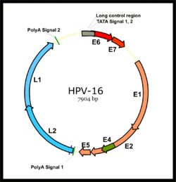fertőző papillomavírusok
